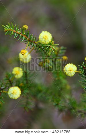 Wattle Seedling Acacia Decurrens
