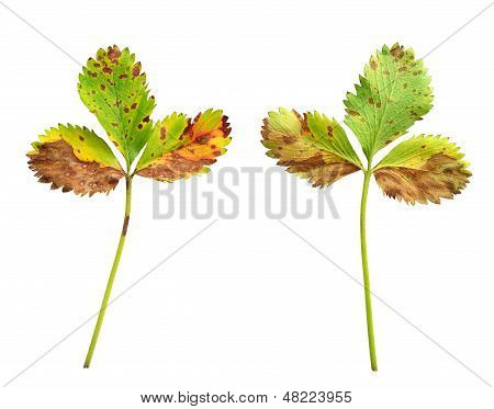 Strawberry leaf with the fungal dinase leaf scorch caused by Diplocarpon earlianum
