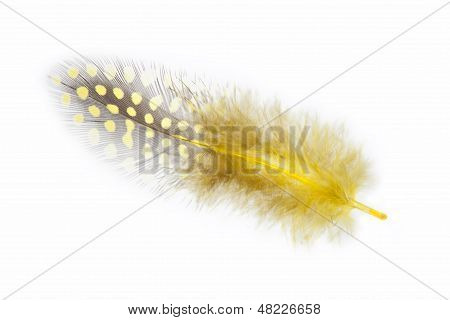 Guinea Fowl Feather In Yellow On A White Background