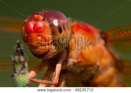 Strikingly Detailed Head Shot of a Red Skimmer Dragonfly