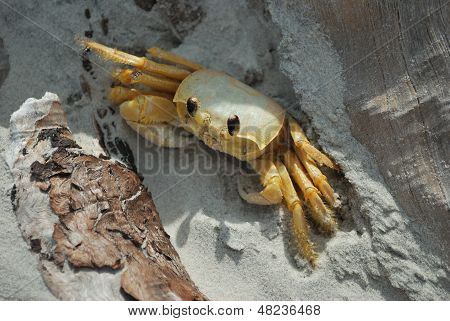 Fiddler crab in the driftwood shadows