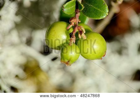 Bush Cranberries With Green Cowberry