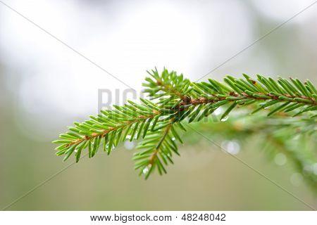 Fur-tree Branch Close-up