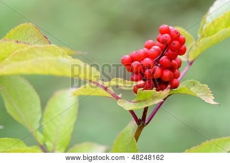 A Branch Of Red Elderberry Close-up