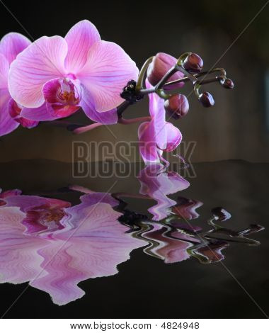 Budding Pink Orchid Reflection