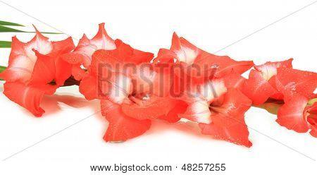 Schöne Gladiolen Blume, isolated on white