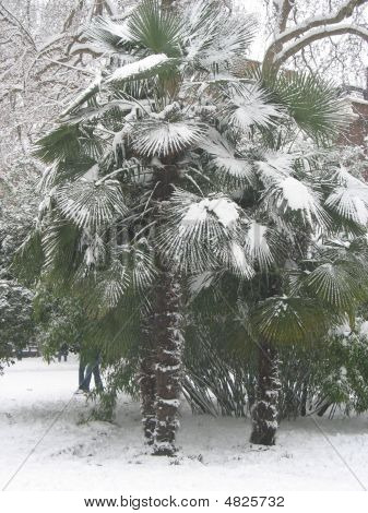 Palm Tree In The Snow