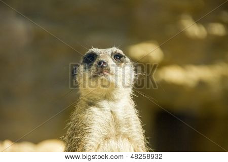 Meerkat Looking Nosy At You