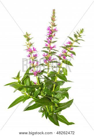 Purple Lythrum Plant