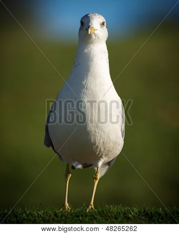 North American Common Seagull