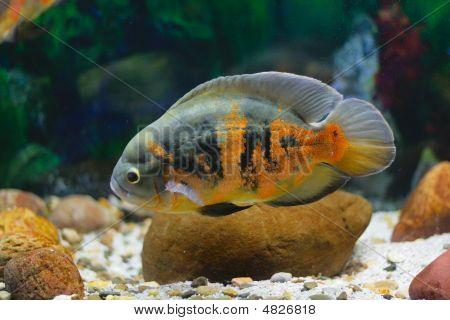 Big Tropical Fish In Aquarium