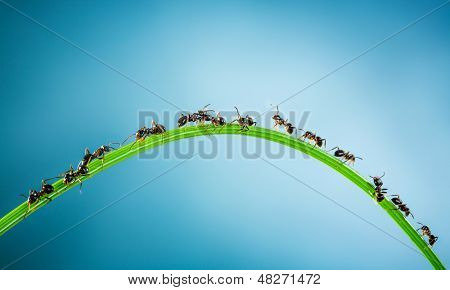 Team of ants running around the curved green blade of grass on a blue background