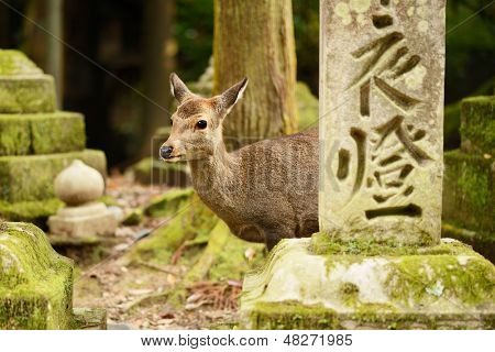 Nara deer roam free in Nara Park, Japan.