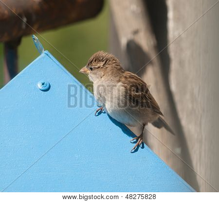 sparrow sitting on blue roof of bird feeder