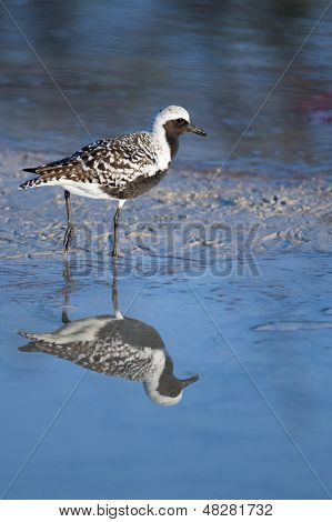 Black-bellied Plover On Beach