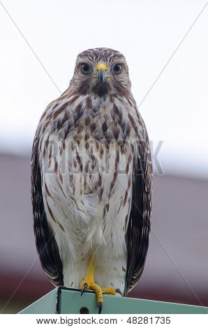 Close Up Red Shouldered Hawk