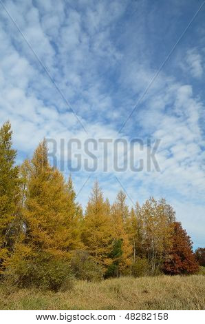 Yellow Tamaracks In The Fall