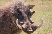 pic of tusks  - Warthog with big tusks and hairy face close - JPG