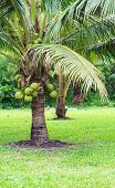 foto of dwarf  - Coconut Tree Dwarf variety in plantation showing green coconut - JPG
