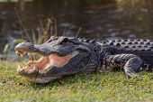 foto of alligators  - Aggressive alligator in Everglades park in Florida - JPG