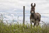picture of jack-ass  - Donkey standing at barbed wire fence - JPG
