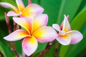 picture of plumeria flower  - beautiful pink flower Frangipani  - JPG