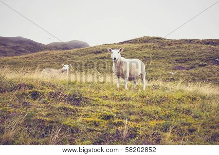 Sheep In Mountain Landscape