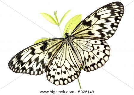 Black And White Butterfly (idea Leuconoe) On White