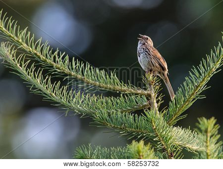 Song Sparrow Sings