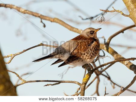 Thrush sits on a mountain ash branch