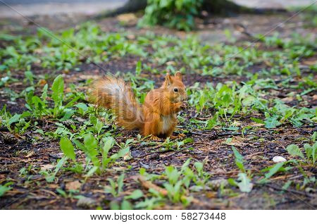Sweet Squirrel To Hold Nut At Forest. Animal Wildlife