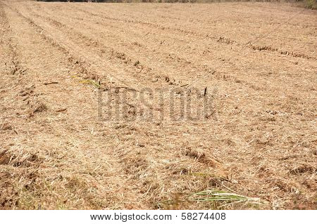 Prepare The Soil For Planting Sugarcane .