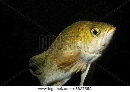 Rosy Rock Fish