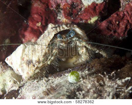 Blue-eyed Hairy Hermit Crab