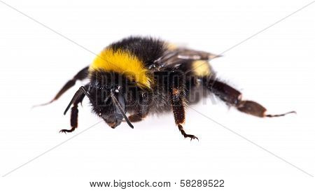 Bumblebee Macro View Isolated