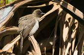 stock photo of fluffing  - A Common Bulbul  - JPG