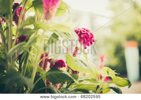 Celosia Or Wool Flowers Or Cockscomb Flower Vintage
