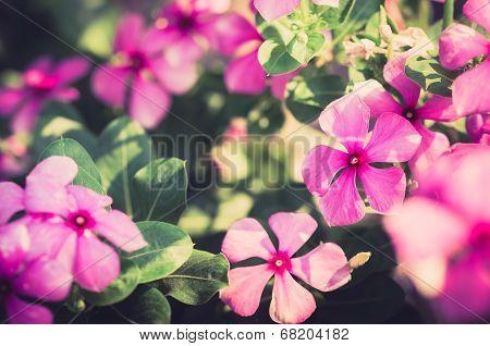 Catharanthus Roseus Or Periwinkle Vintage