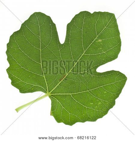 One fig tree leaf surface close up  isolated on white background