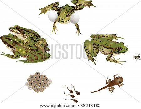 Life of frog