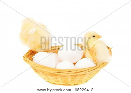 live little chicken animal on white eggs inside wicked basket isolated on white background