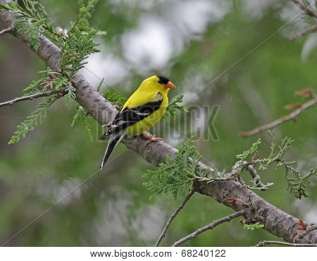 Male Goldfinch in a Cedar