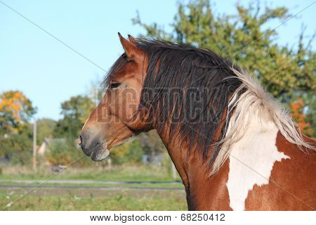 Portrait Of Beautiful Skewbald Horse