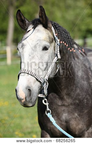 Gorgeous Horse With Nice Halter