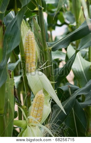 Double Ear Corns