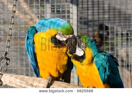 Two Loving Parrots