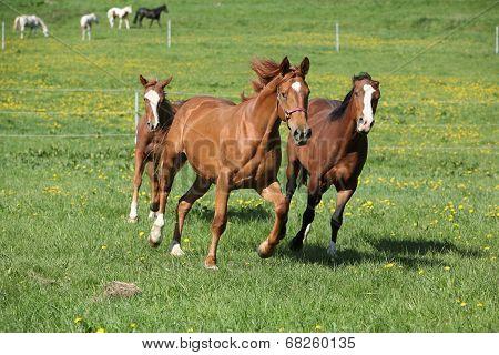Batch Of Beautiful Horses Running On Pasturage