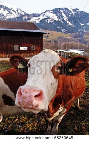 Curiosity Cow On Alpine Farm