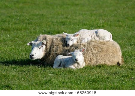 Texels sheep