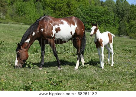 Amazing Foal With Mare On Pasturage